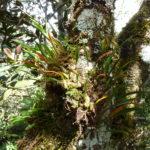 Farne und Epiphyten wachsen an den Baumriesen