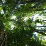 Blick in die Baumkronen im Regenwald