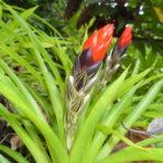 Blüte einer Bromelie
