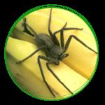 Brasilianische Wanderspinne / Bananenspinne